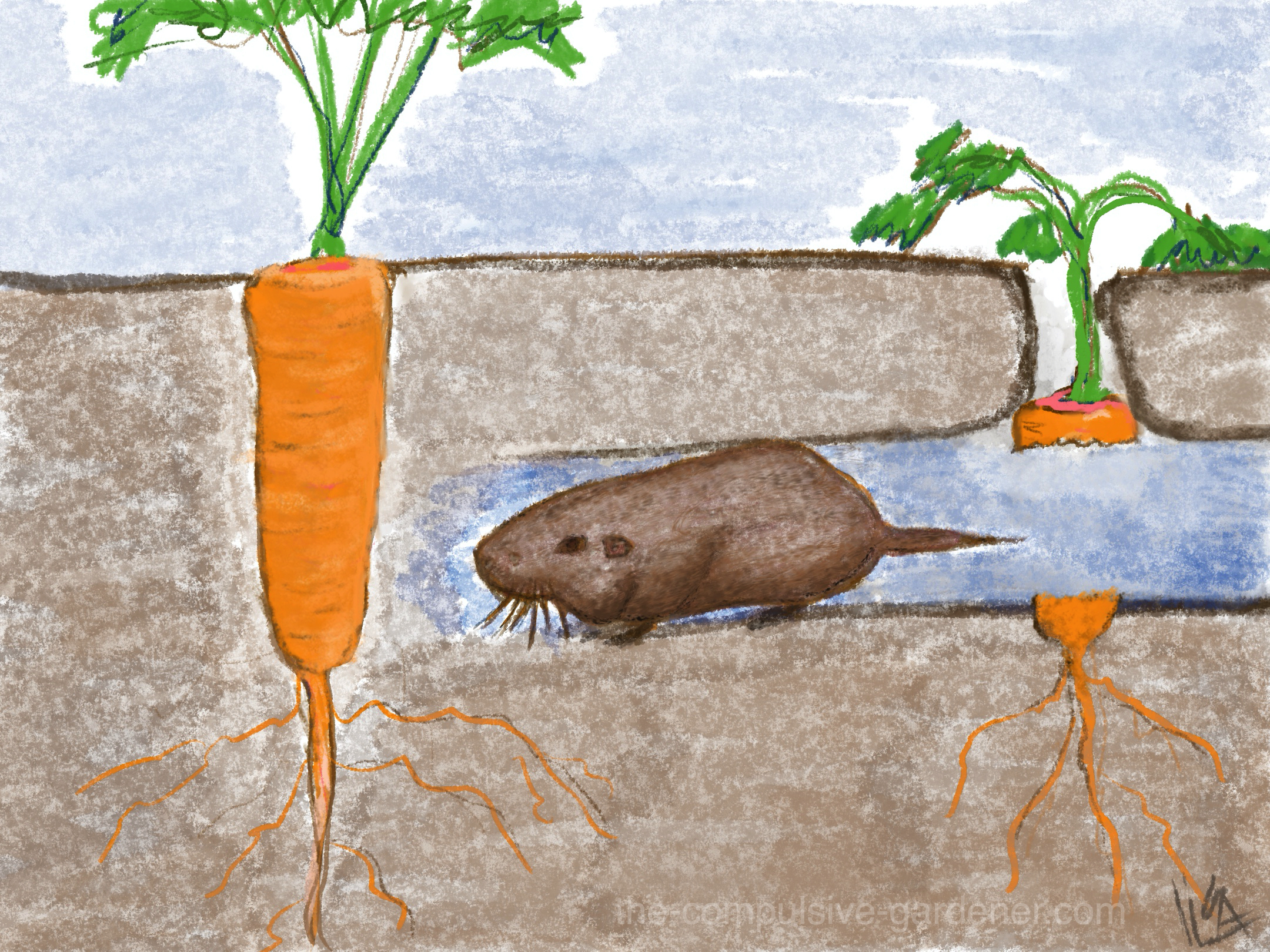 Drawing of gopher eating garden carrots underground