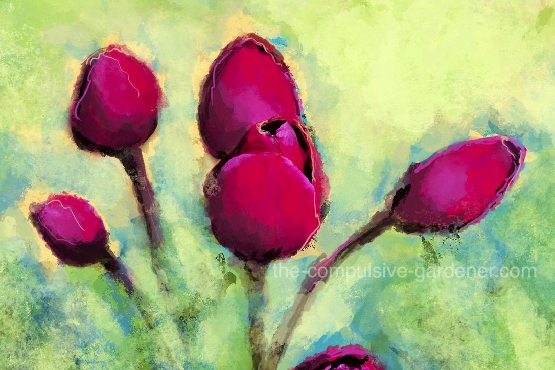 Magenta Tulips | digital painting by lisa of the-compulsive-gardener.com