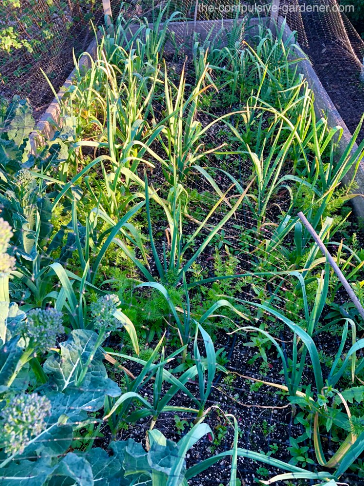 Garlic and a few carrots and a stray broccoli in a garden bed (could use a weeding!)