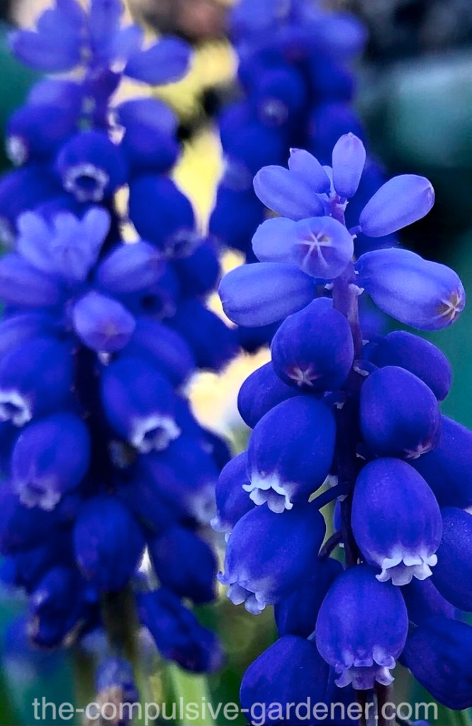 Grape Hyacinth ... so pretty! Why don't I have more of these?