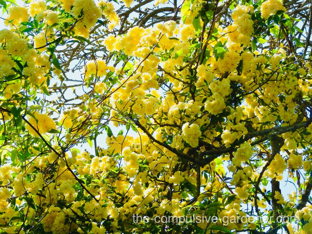 Yellow Rosa Banksiae