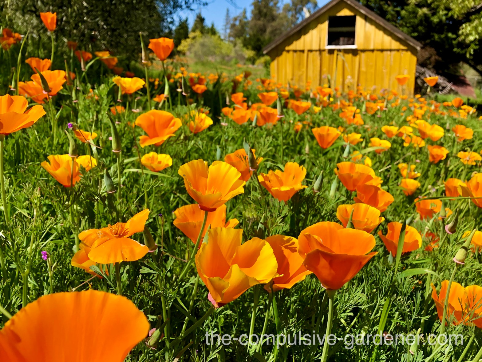 California Poppies and old shed