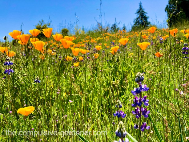 California poppies and lupines