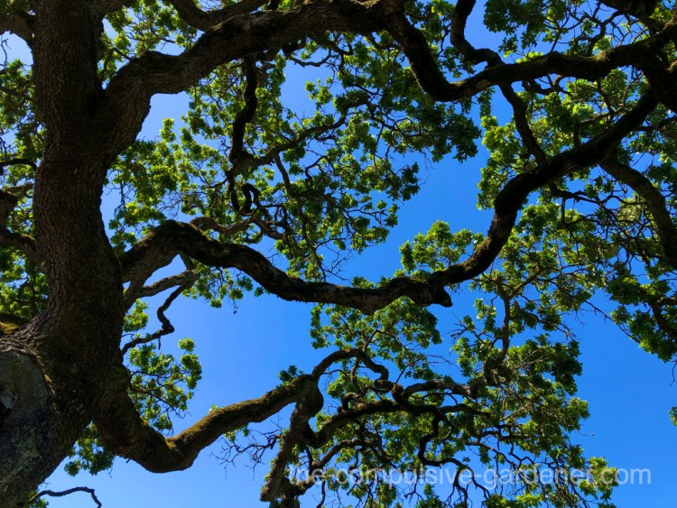 Valley Oak provides shade during drought
