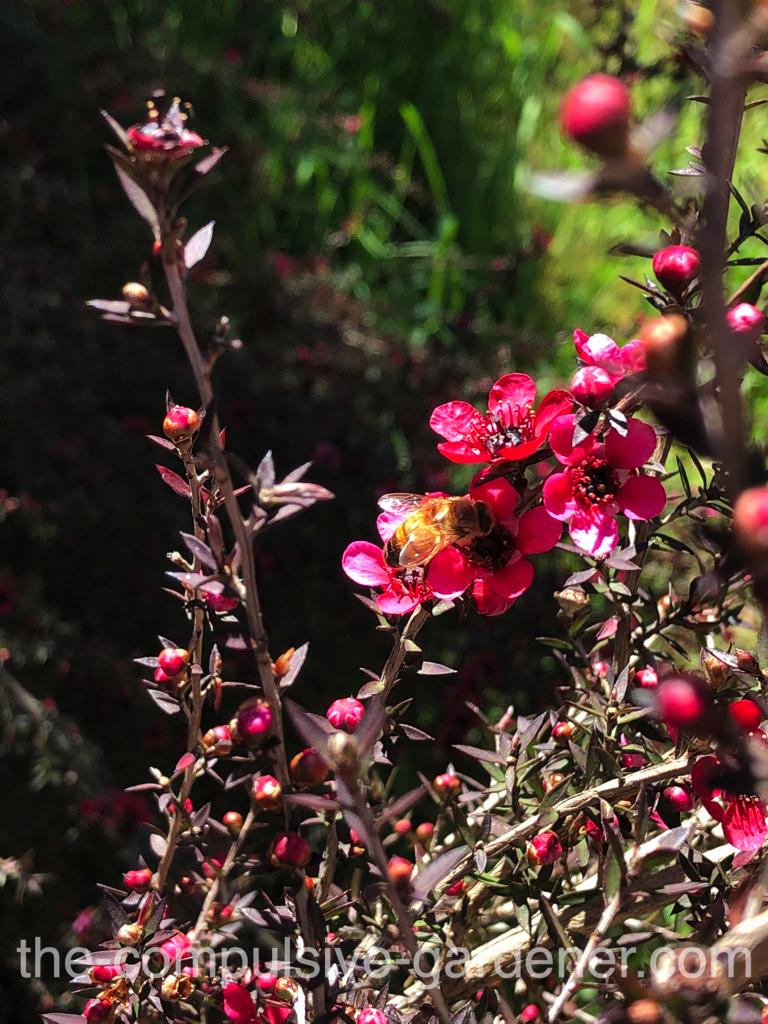 Red flowering tea tree with honeybee