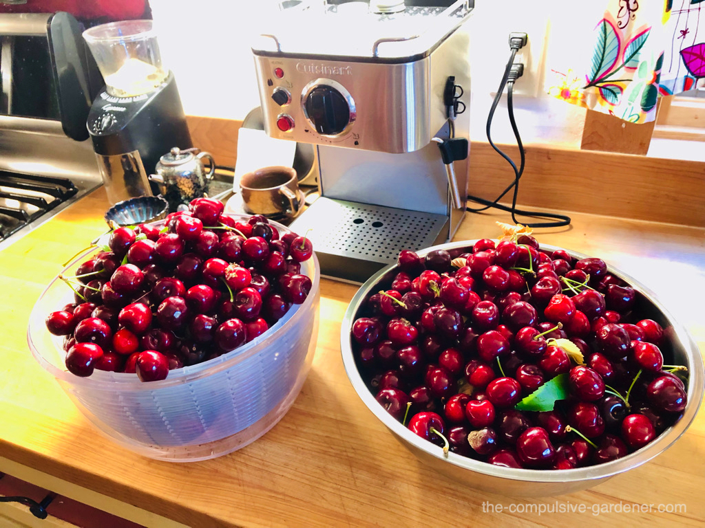 Half of the Lapins cherry harvest from our oldest tree. I appear to be ready to serve some with espresso or oolong, don't I?