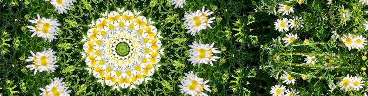 Mandala of chamomile flowers