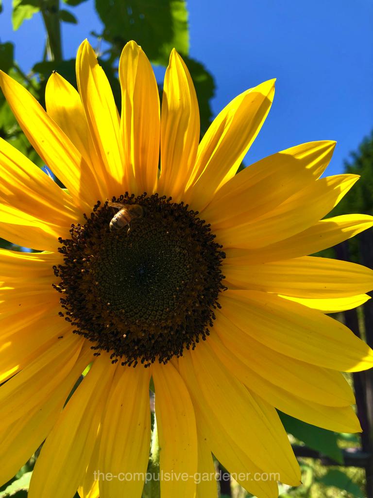 Yellow Sunflower with honeybee
