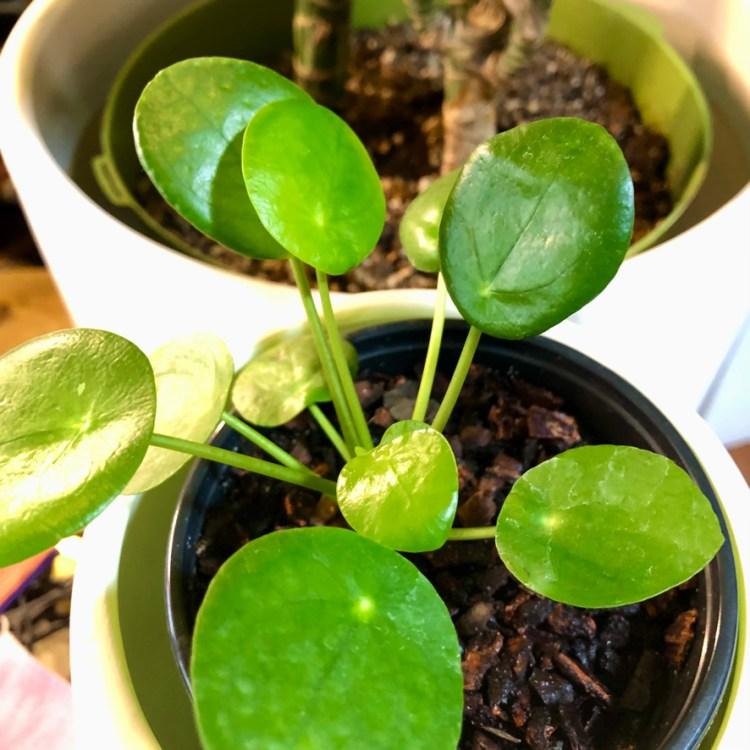 Chinese Money Plant (Pilea peperomiodes)