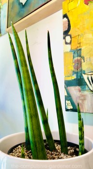 Cynlindrical snake plant (Sansevieria cylindrica)