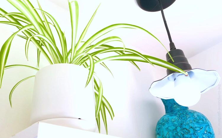 Spider plant ... no, I going to use the other common name Ribbon plant for this one. Chlorophytum comosum.
