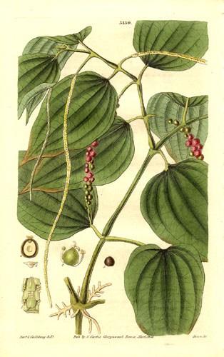 Pfeffer ist sein Jahrhunderten beliebt - hier eine botanische Zeichnung von 1832 (public domain via Wikimedia)
