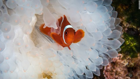 """The exhibition shows the best 100 photographs from a global competition.<br />""""On a recent trip to Indonesia we were saddened to see the huge number of bleached anemones. We expected to see some coral bleaching, but we were surprised by how many anemones were also becoming victims to rising ocean temperatures,"""" wrote photographer Diana Paboojian."""