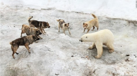 """Photo: Vladimir Melnik, Russia: """"I was in expedition exploring Franz Josef Land archipelago. There was a polar station where people brought dogs as guards against polar bears. The summer is difficult time for bears. In recent years warming in Arctic resulted in loss of sea ice which is critically important for bears as they can hunt only from ice. The bears which stay on the islands doomed to meager ration and go to human settlements,"""" wrote Melnik."""