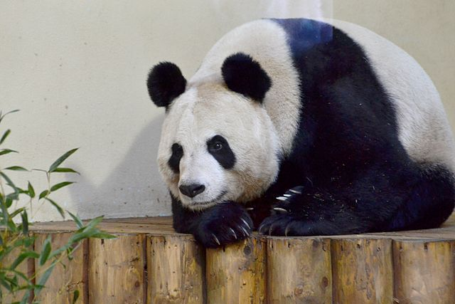 For now Tian Tian is not pregnant, but scientists and keepers at Edinburgh Zoo are hopeful for the future . Image credit: The Land via Wikimedia Commons (License)