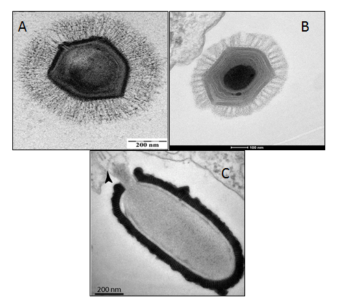 A selection of electron microscope images of giant viruses. A. Mimivirus, via wikimedia commons (CC BY 2.5). B. Megavirus Chilensis, via wikipedia by Chantal Abergel (CC BY-SA 3.0). C. Pithovirus Sibericum. Image from Matthieu Legendre et al. PNAS 2014;111:4274-4279, doi: 10.1073/pnas.1320670111 Figure 1, Panel E; ©2014 by National Academy of Sciences