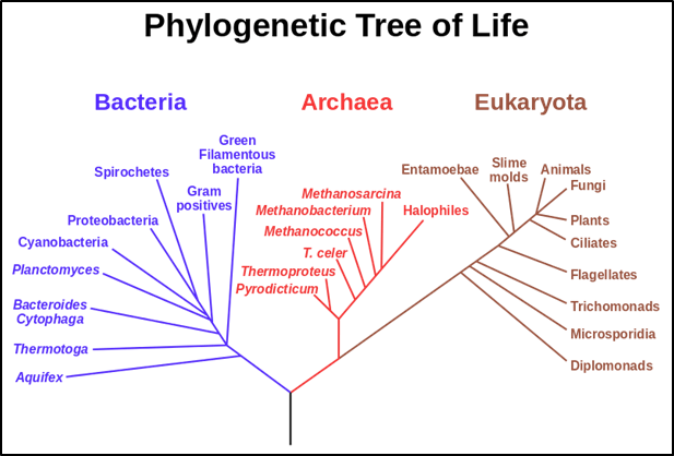 A tree of life showing the domains Bacteria, Archaea and Eukaryota with the universal common ancestor LUCA (black trunk at the bottom). Image via Wikipedia, from the NASA Astrobiology Institute.
