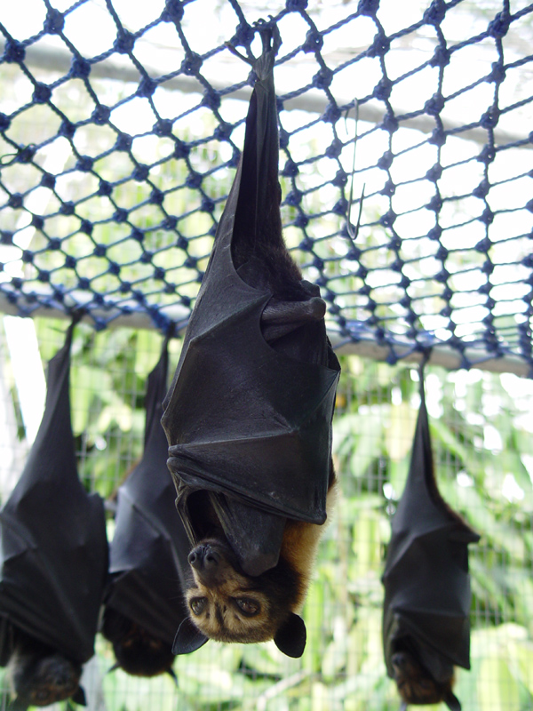 The Speckled Flying-Fox, a large Australian meg-bat. African relatives are suspected of being the Ebola reservoir. Image via wikimedia commons (CC BY-SA 3.0)
