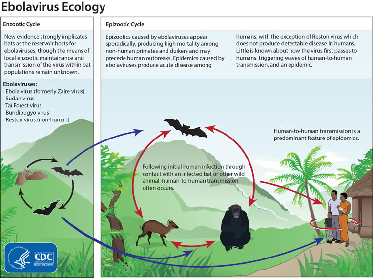 A diagrammatic overview of Ebola transmission, showing bats interaction with other animals and humans. Image from the CDC, via wikimedia commons.