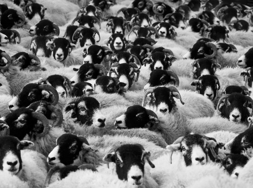 Flock of Sheep by Petr Kratochvil