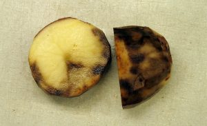 The potato late blight, the disease caused by P.infestans turns non-resistant potatoes into a black, inedible mush. This potato is during the early stages of infection, where the edible core hasn't yet completely turned to goo. Image credit: benmillett via Flickr (CC by 2.0 license)