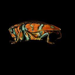 Jewel Longhorn Bettle © Levon Biss