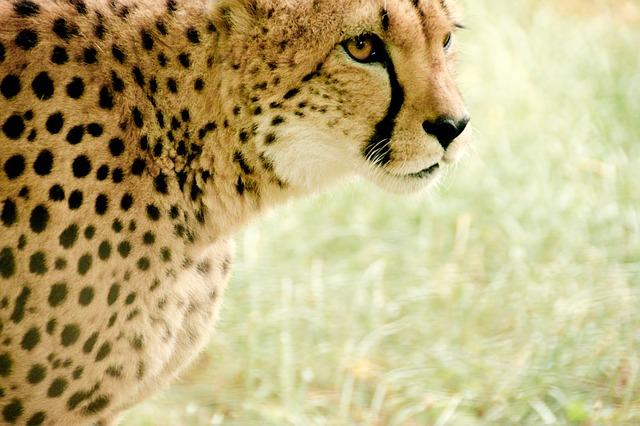 cheetah-831572_640.jpg