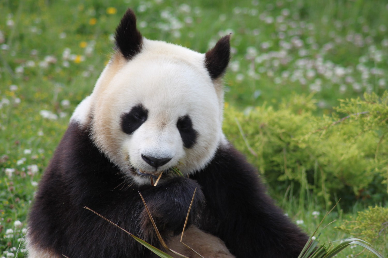 INKLINE panda China Good News