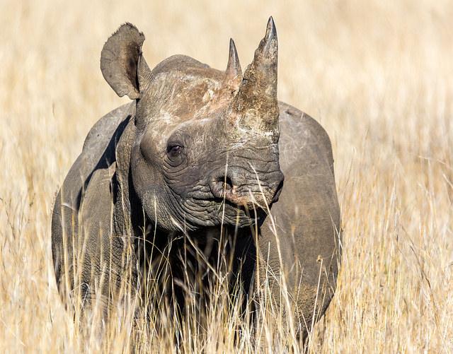 black rhino Rwanda INKLINE