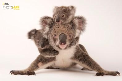 A federally threatened koala, Phascolarctos cinereus, with her babies at the Australia Zoo Wildlife Hospital. © Joel Sartore/National Geographic Photo Ark