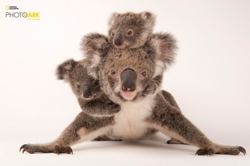 A federally threatened koala, Phascolarctos cinereus, with her babies at the Australia Zoo Wildlife Hospital. © Joel Sartore/National Geographic Photo Ark