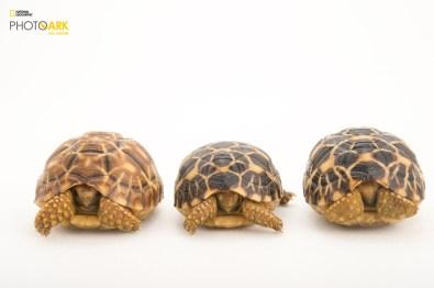 Three critically endangered, yearling Burmese star tortoises, Geochelone platynota, at the Turtle Conservancy. © Photo by Joel Sartore/National Geographic Photo Ark(www.natgeophotoark.org)