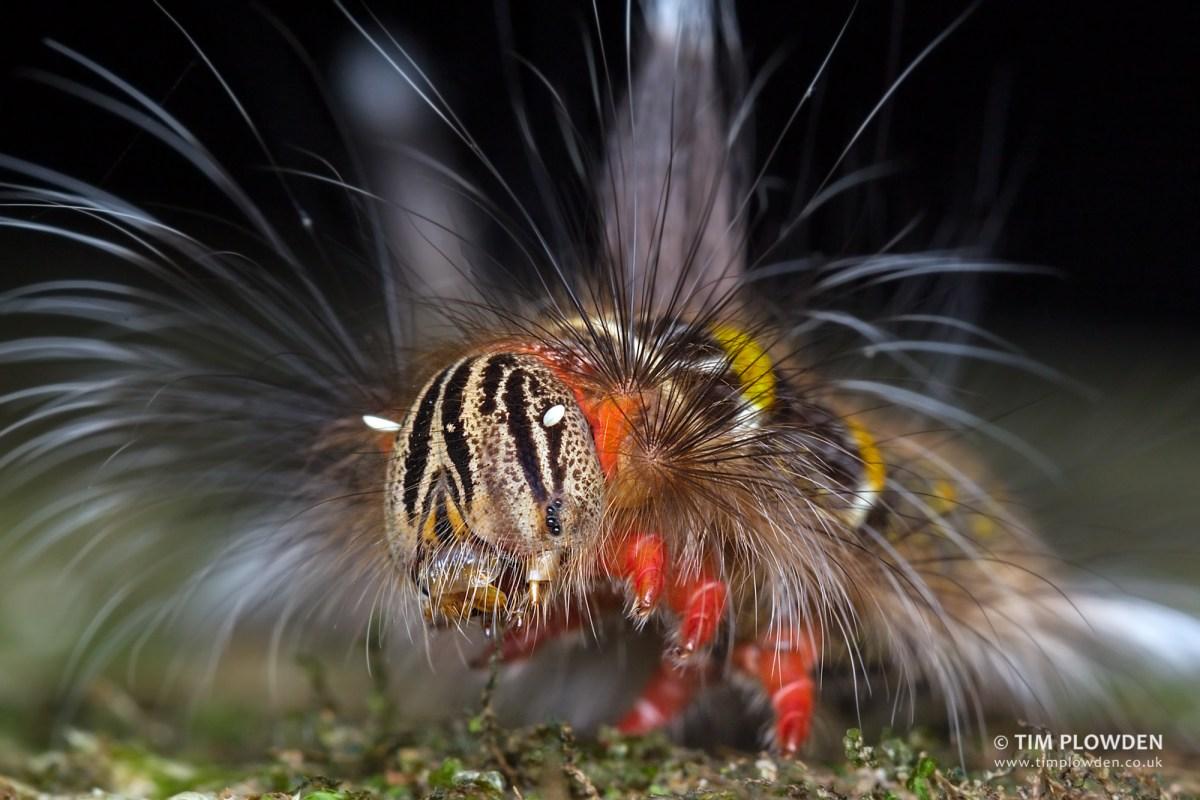 Caterpillar of Lasiocampidae