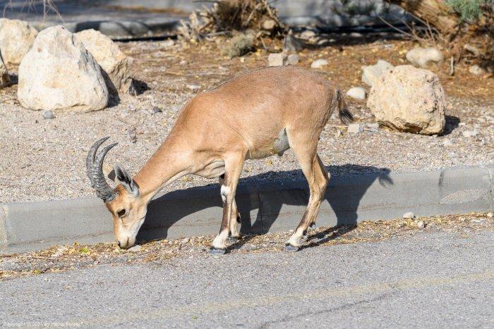 Nubian ibex at Ein Gedi