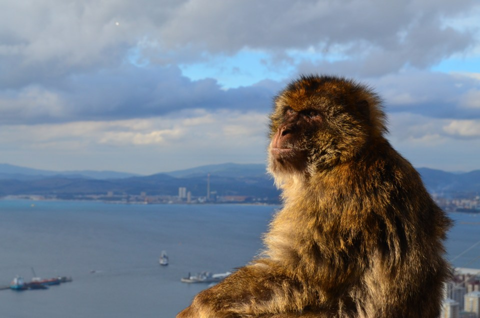 Picture of Monkey from Gibralter. Photo credit: Joyce Bredesen