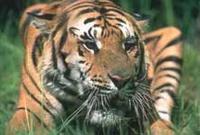 20041105_tiger.jpg