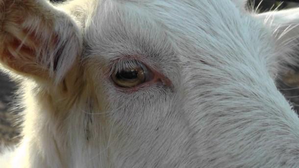 Beautiful cow's eye