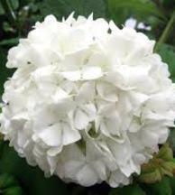 white-hydrangea-bouquet-builder-the-little-flower-shop