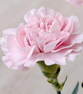 Carnation-bouquet-builderPink Flowers Flowers Carnation Pink Pink