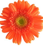 range-gerberas-bouquet-builder-the-little-flower-shop