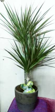 indoor plants-house-plants-plants-for-office-and-space-the-little-flower-shopDracaena in pot medium-min