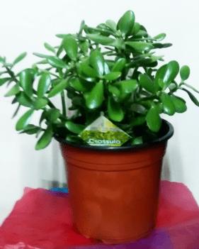 Large Money plants_order indoor plants online_house plants online_flower shop-