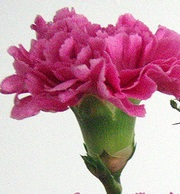 bouquet-builder-pink-carnation-hot-pink-rose-the-little-flower-shop-florist-london-bouquet-builder-build-a-bouquet-clapham-uk-delivery-brixton-delivery-streatham-flowers-bouquet