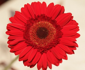 bouquet-builder-red-gerberas-build a bouquet online the little flower shop -GERBERAS-revised