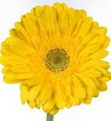 yellow-gerberas-bouquet-builder-flowers-the-little-flower-shop