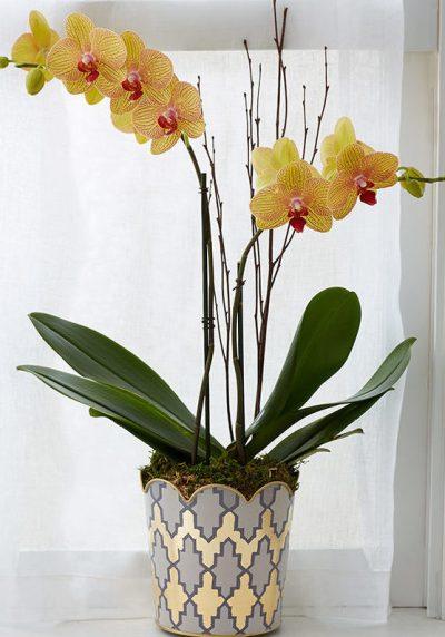 orchid yellow_orchids_orchid plant_plants_plant delivery_plants online_flower shop_florist_floirst online_indoor plants