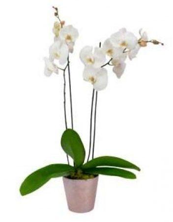 white-orchid-plant-the-little-flower-shop-london-florist-plant-shop-uk-delivery