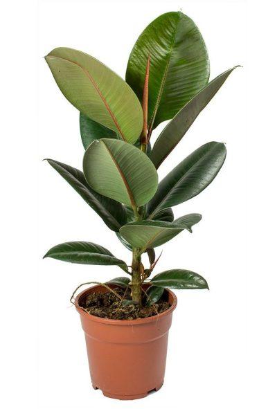 rubber-PLANT-THE-LITTLE-FLOWER-SHOP-LONDON-PLANT-SHOP-UK-2