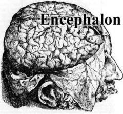 encaphalon
