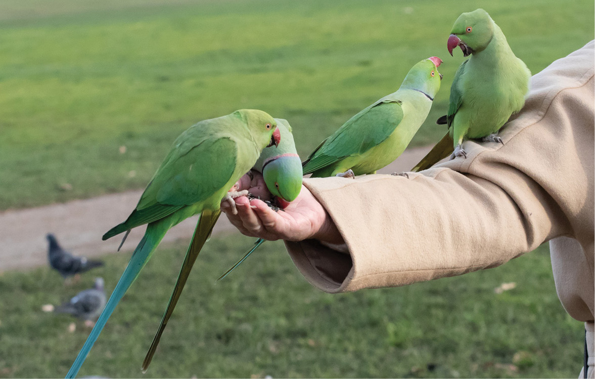 LEFT Ring-necked parakeets have become a potentially dangerous invasive species in Britain, outcompeting local animals for food and nesting sites.